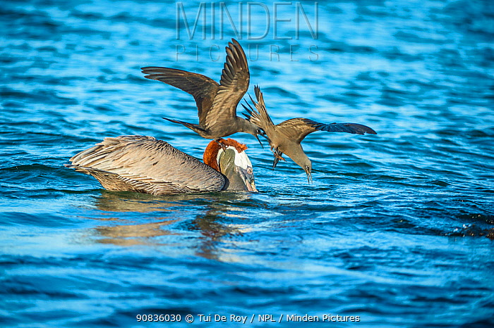 Brown noddy (Anous stolidus) two mobbing Brown pelican (Pelecanus occidentalis) Turtle Cove, Santa Cruz Island, Galapagos.