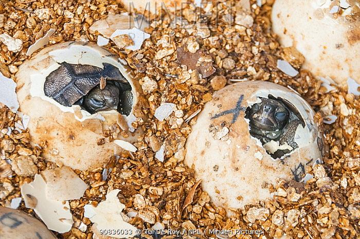 Espanola saddleback tortoise (Geochelone hoodensis), captive at Tortoise Breeding Centre, Puerto Ayora, Santa Cruz Island, Galapagos.