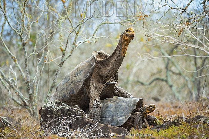 Espanola saddelback tortoise (Chelonoidis hoodensis) pair mating, Espanola Island, Galapagos.