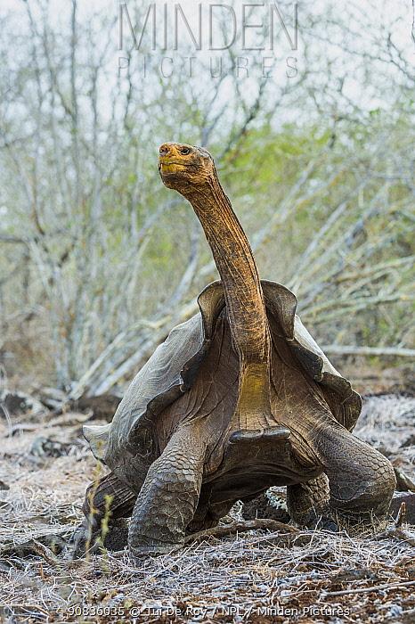 Espanola saddelback tortoise (Chelonoidis hoodensis), Espanola Island, Espanola Island, Galapagos.
