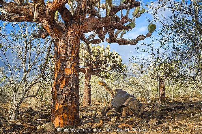 Espanola saddelback tortoise (Chelonoidis hoodensis) walking through Tree prickly pears (Opuntia echios) Espanola Island, Galapagos.