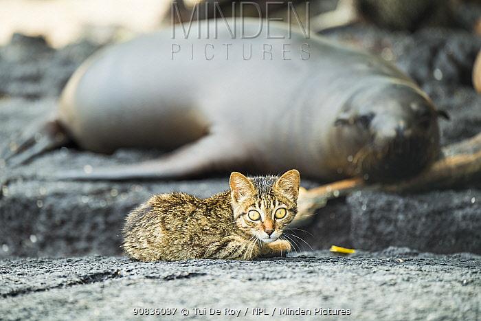 Feral kitten with sleeping Galapagos sea lion (Zalophus wollebaeki) Puerto Fragata, Isabela Island, Galapagos.