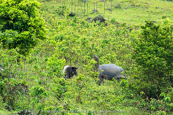 Feral pigs (Sus scrofa) foraging, Cerro Azul, Isabela Island, Galapagos.