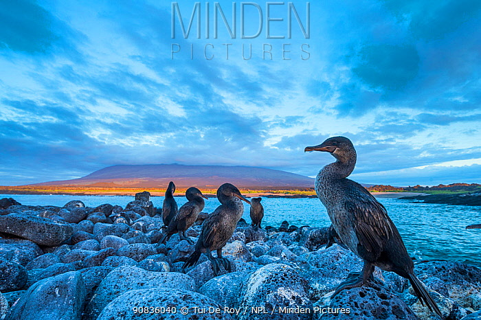 Flightless cormorant (Phalacrocorax harrisi) flock perched on the coast at dusk, Cape Douglas, Fernandina Island, Galapagos.