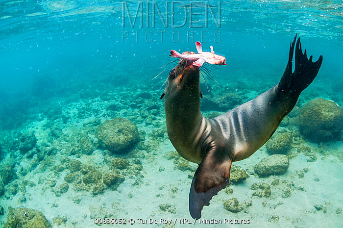 Galapagos sea lion (Zalophus wollebaeki) hunting, Champion Islet, Floreana Island, Galapagos.
