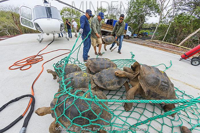 Pinzon giant tortoise (Chelonoidis ephipium) moved by helicopter for breeding program, Galapagos National Park Headquarters, Santa Cruz Island., Galapagos.