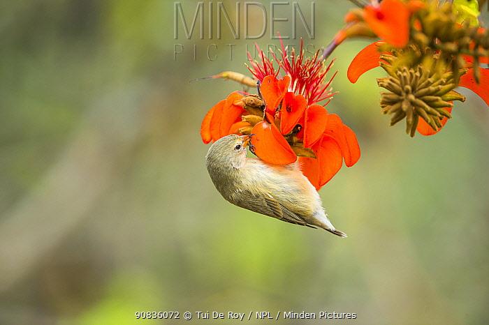 Small tree finch (Camarhynchus parvulus) feeding on seasonal Erythrina flowers, Lower transition zone, Santa Cruz Island, Galapagos.