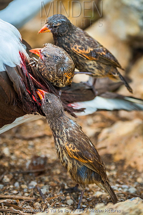 Vampire ground finches (Geospiza septentrionalis) feeding on Nazca booby (Sula granti) blood. Wolf Island, Galapagos.