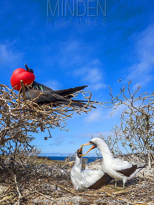 Great frigatebird (Fregata minor) in tree with pair of Nazca boobies (Sula granti) showing mating behaviour, Genovesa Island, Galapagos,