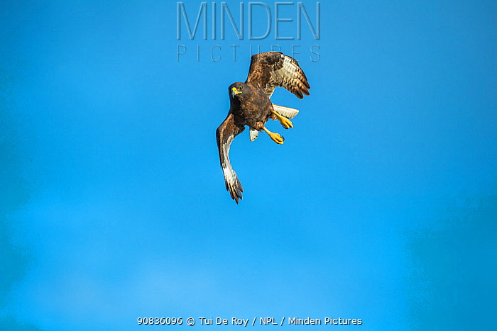 Galapagos hawk (Buteo galapagoensis) in flight, Beagle Crater (Base Bolivar), Isabela Island, Galapagos,