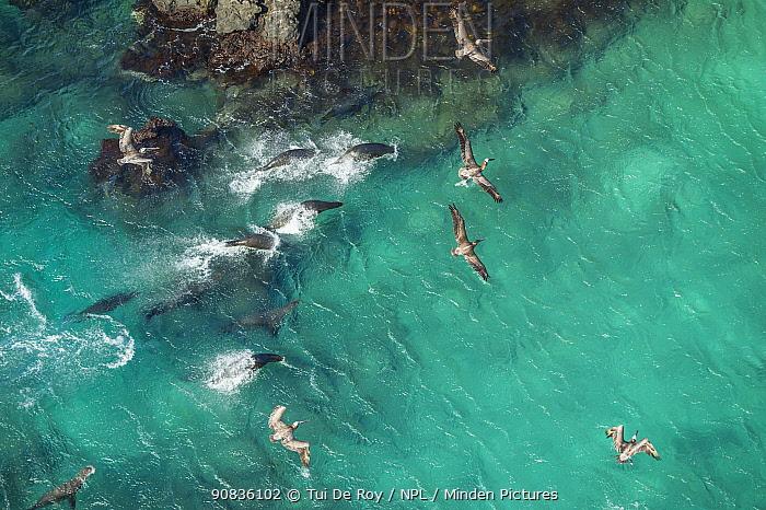 Aerial view of Galapagos sea lion group (Zalophus wollebaeki) swimming with Brown pelicans (Pelecanus occidentalis) followng them to hunt and scavenge. Bainbrdige Crater, near Santiago Island, Galapagos,