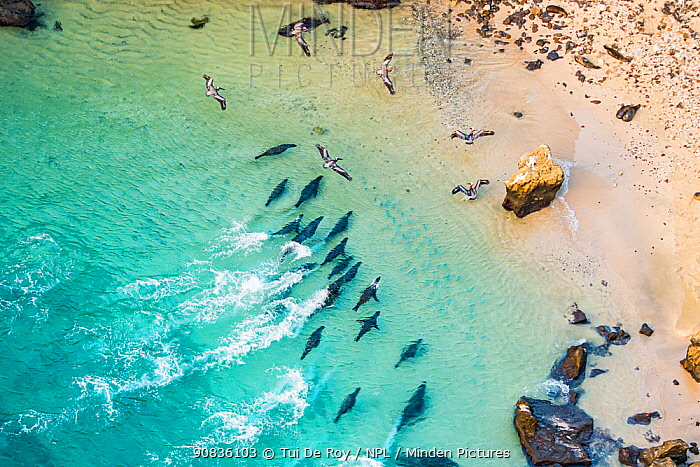 Aerial view of Galapagos sea lion group (Zalophus wollebaeki) hunting shoal of fish with Brown pelicans (Pelecanus occidentalis) Bainbrdige Crater, near Santiago Island, Galapagos,