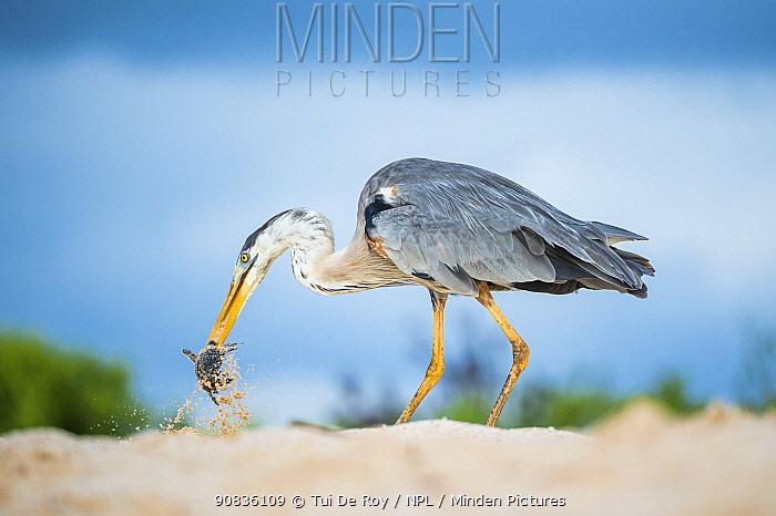 Great blue heron (Ardea herodias) with hatchling sea turtle prey, Las Bachas, Santa Cruz Island, Galapagos,