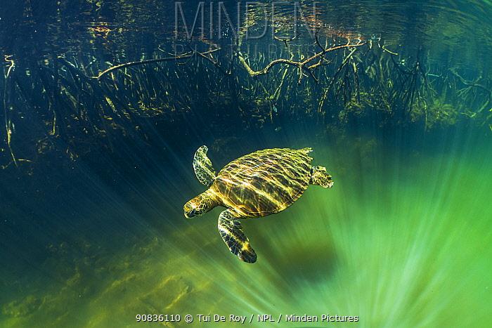 Green turtle (Chelonia mydas) swimming near coast with mangrove roots, , Posa de los Patillos, Fernadina Island, Galapagos.