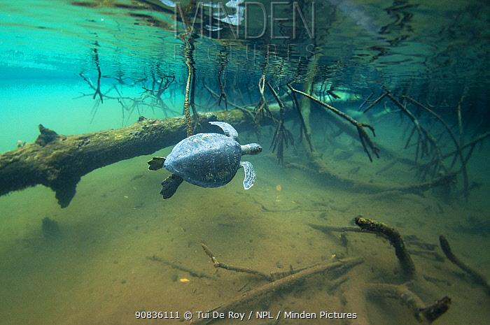 Green turtle (Chelonia mydas) swimming near mangroves, Elizabeth Bay, Isabela Island, Galapagos,