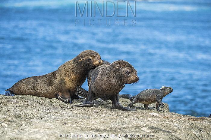 Galapagos fur seal (Arctocephalus galapagoensis) pups watching Marine iguana (Amblyrhynchus cristatus) Cape Douglas, Fernandina Island, Galapagos,