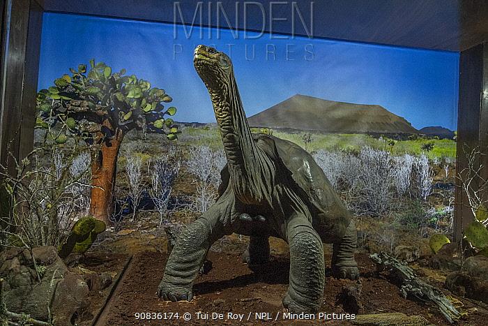 Embalmed remains of the last Pinta saddleback tortoise (Geochelone abingdonensis) named 'Lonesome George'. With backdrop photo of Pinta Island donated to the public exhibit by Tui De Roy, Fuasto Llerena Trotoise Breeding Centre, Santa Cruz Island, Galapagos