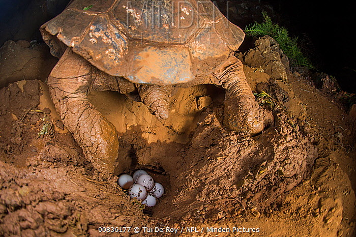 Espanola saddleback tortoise (Geochelone hoodensis) laying eggs in 2015 at the Fausto Llerena Tortoise Breeding Centre, Santa Cruz Island, Galapagos. One of 13 remaining old females taken into captivity for breeding in the 1960-70s