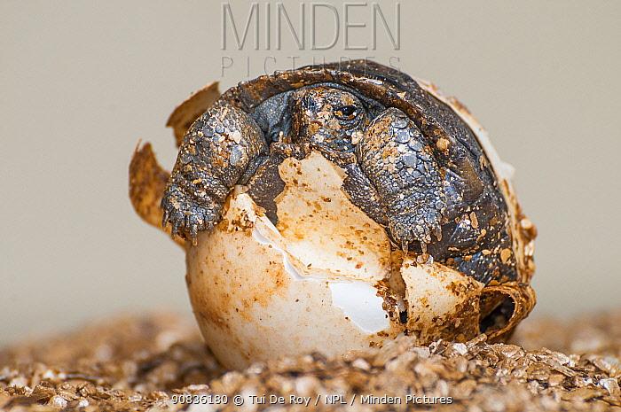Espanola saddleback tortoise (Geochelone hoodensis) hatchlings emerging from eggs laid at the Fausto Llerena Tortoise Breeding Centre, Santa Cruz Island, Galapagos.