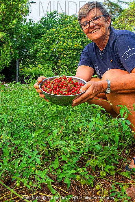 Photographer Tui De Roy harvesting naturalised hybrid tomatoes around the edges of her garden. Puerto Ayora, Santa Cruz Island, Galapagos. June 2020.
