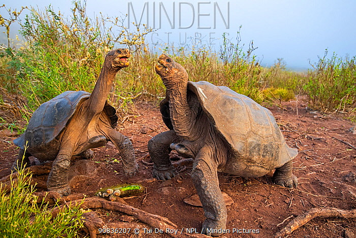 Pinzon giant tortoise (Chelonoidis duncanensis), two males facing off. Captive-raised as hatchlings to protect them from introduced black rats, adults have started breeding naturally again since rats were eradicated in 2012. Pinzon Island, Galapagos.