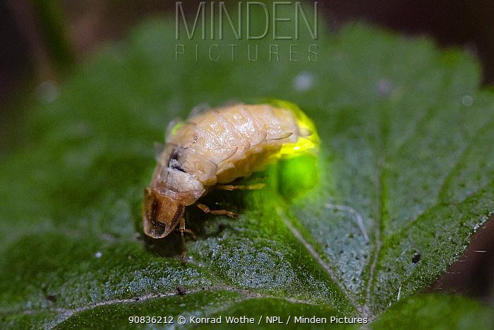 Glowworm (Lamprohiza splendidula) female glowing, Bavaria, Germany