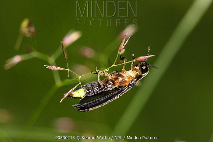 Firefly (Lamprohiza splendidula) Glowworm male, Bavaria, Germany , June.