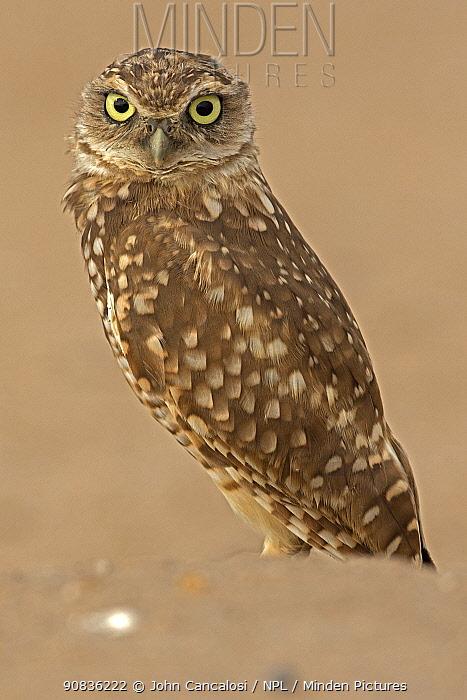 Burrowing owl, (Athene cunicularia), Arizona, USA, August.