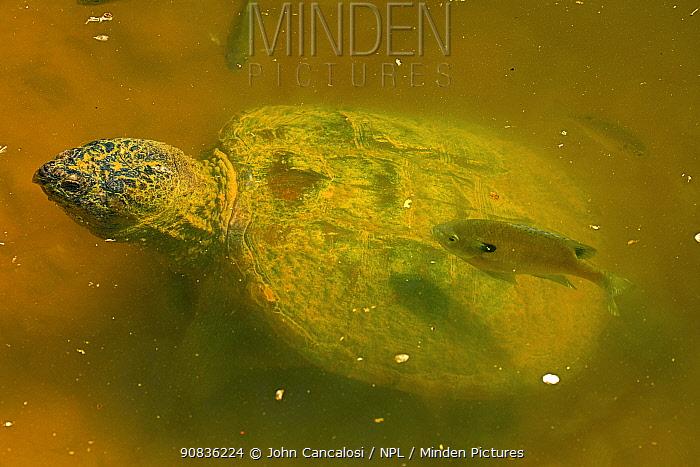 Snapping turtle (Chelydra serpentina) and Bluegills (Lepomis macrochirus) Maryland, USA, May.