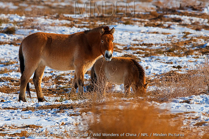 Przewalski's horse (Equus przewalskii) with foal, Kalamaili National Nature Reserve, Xinjiang, China. These individuals rounded up into a feeding enclosure during winter, for reasons of increased survival possibilities for the species. Wild, but in a temporary enclosure over winter.