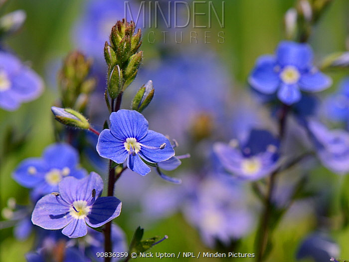Germander speedwell (Veronica chamaedrys) clump flowering in a chalk grassland meadow,  Wiltshire, UK, May.
