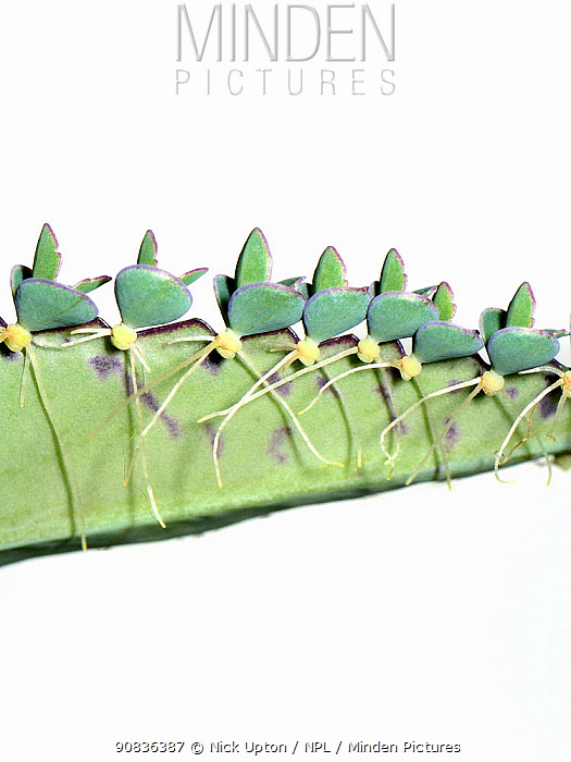 Close up view of a Mexican hat plant / Mother of thousands (Bryophyllum diagramiontianum / Kalanchoe daigremontiana) with plantlets developing on leaf edge, cultivated, UK.