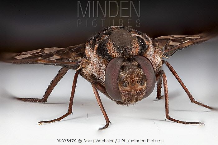 Tiger bee fly (Xenox tigrinus) Philadelphia, Pennsylvania, USA, July.