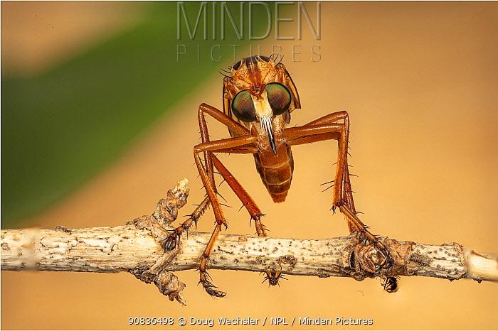 Hanging thief robber fly (Diogmites sp) Philadelphia, Pennsylvania, USA, July.