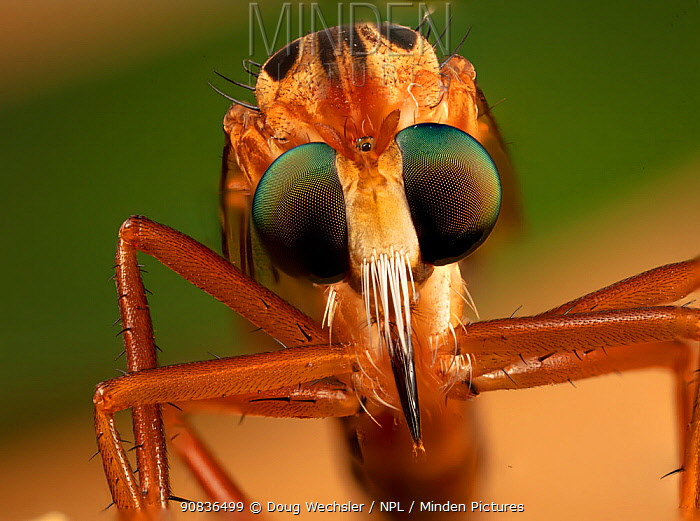 Hanging thief robber fly (Diogmites sp) close up of head and eyes, Philadelphia, Pennsylvania, USA, July.