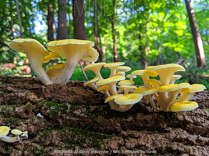 Golden oyster mushroom (Pleurotus citrinopileatus) Philadelphia, Pennsylvania, USA, August.