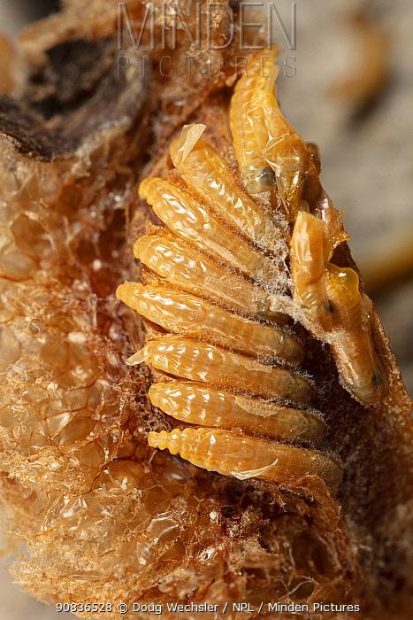Chinese praying mantis (Tenodera sinenesis) close up of ootheca (egg case) Philadelphia, Pennsylvania, USA, APril.