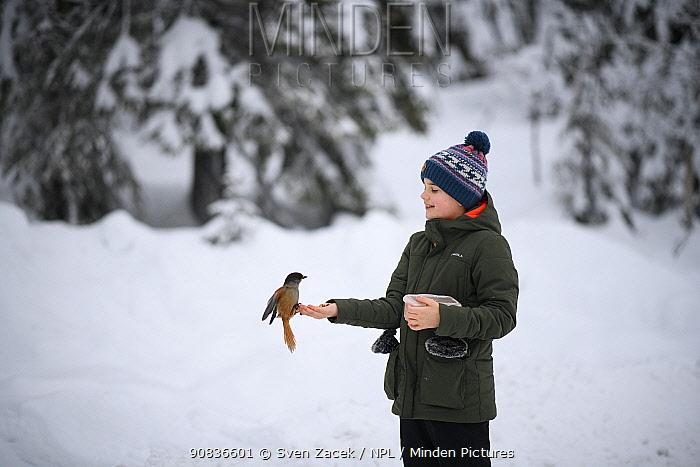 Young boy hand-feeding a Siberian jay (Perisoreus infaustus) Kuusamo, Finland. December. Model Released