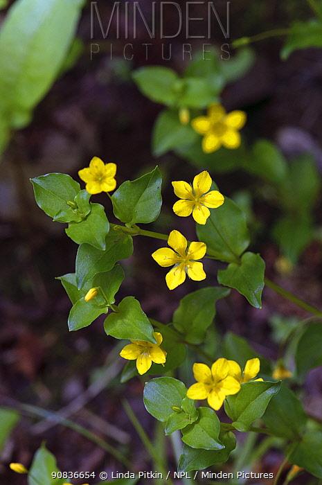 Yellow pimpernel (Lysimachia nemorum) Greybury Wood, Kent, England, May.