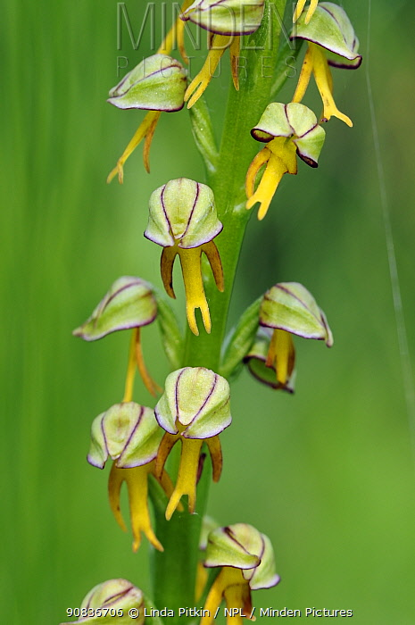 Man orchid (Orchis anthropophora), locally rare plant, Howell Hill SWT Nature Reserve, Surrey, England, June.