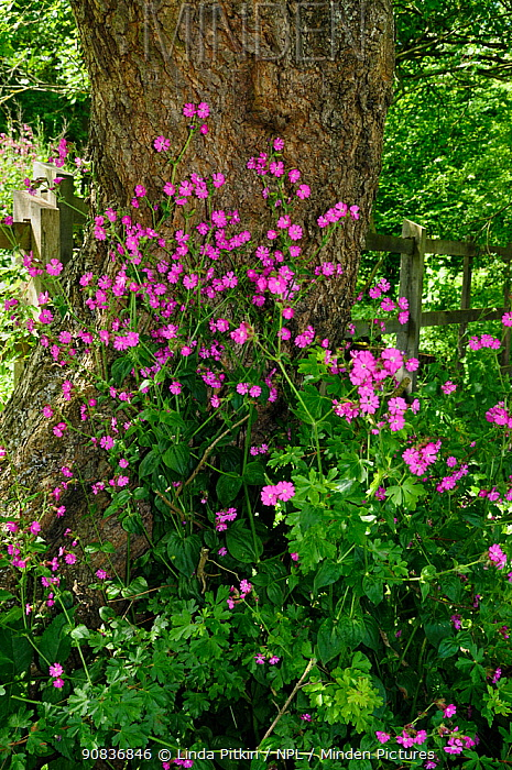 Red Campion (Silene dioica) Runnymede (NT), Surrey, England, May.