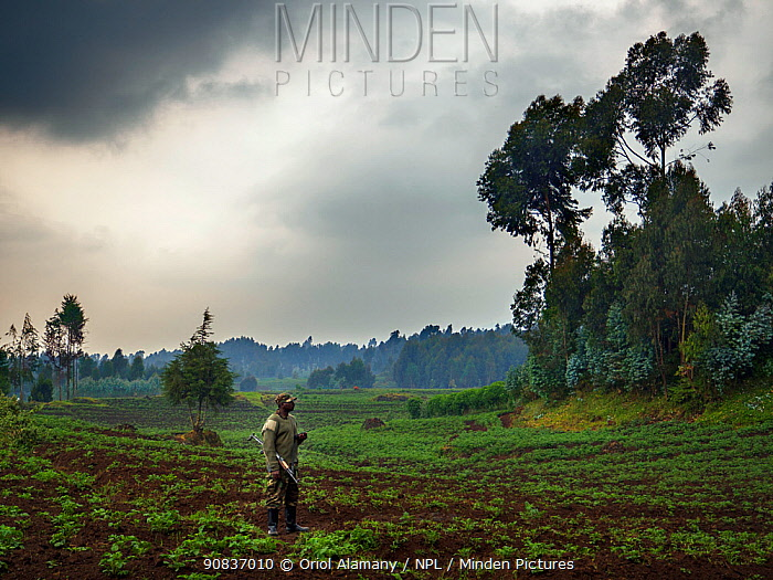Armed guard to monitor mountain gorilla (Gorilla beringei beringei) incursion into fields and eucalyptus plantations near Kinigi, Volcanoes National Park, Rwanda, July