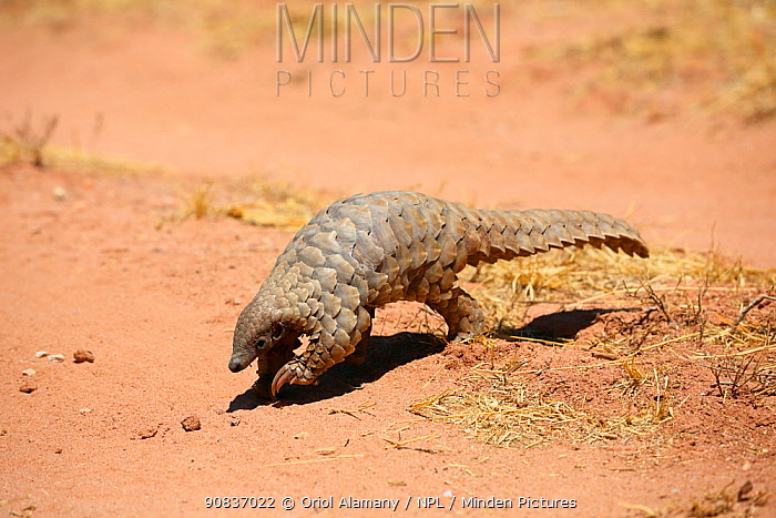 Pangolin (Smutsia temminckii) Okonjima, Namibia, October.