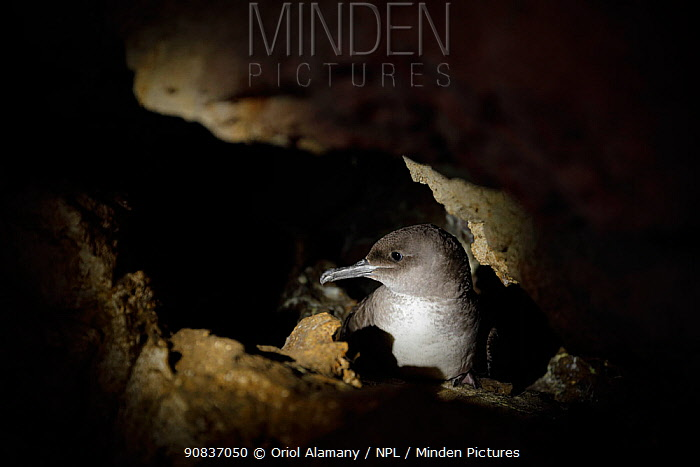 Balearic shearwater (Puffinus mauretanicus) in the breeding colony inside a coastal cave, Des Conills islet in Malgrats islands (ZEPA, Zona de Especial Protecci�n para las Aves), Mallorca, Balearic islands, Spain, May