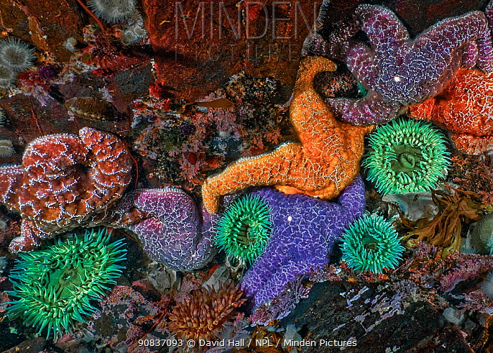 Purple and Ochre sea stars (Pisaster ochraceus) and Green surf Anemones (Anthopleura xanthogrammica). Browning Pass, Queen Charlotte Strait, British Columbia, Canada. September.