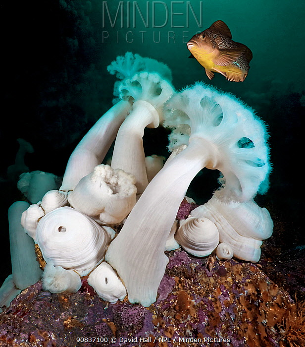 Giant plumose anemones (Metridium farcimen) are among the tallest sea anemones in the world, with female Kelp greenling (Hexagrammos decagrammus), North Wall, Browning Pass, British Columbia, Canada. September.