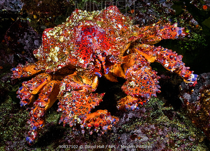 Puget Sound king crab (Lopholithodes mandtii), Browning Pass, Queen Charlotte Strait, British Columbia, Canada. September.