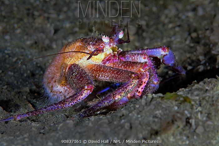 Hermit crab (Labidochirus splendescens) Slingsby Channel, Queen Charlotte Strait, British Columbia, Canada. September
