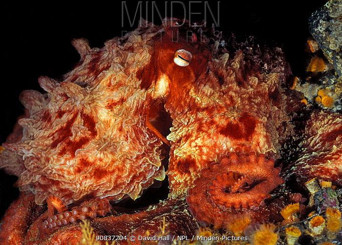 Giant pacific octopus (Enteroctopus dofleini)  Campbell River, British Columbia, Canada. September.