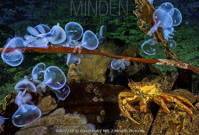 Helmet crab (Telmessus cheiragonus) and Hooded nudibranchs (Melibe leonina), Nigei Island, Queen Charlotte Strait, British Columbia, Canada. October.